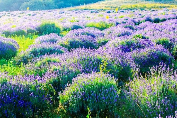 Cánh đồng hoa oải hương ở Nông trại Mt Shasta, California, Mỹ